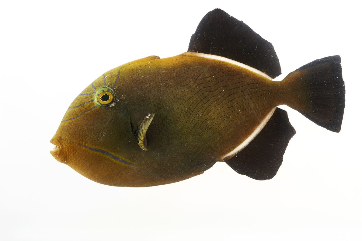 A black triggerfish (Melichthys niger) photographed at Pure Aquariums in Lincoln, Nebraska