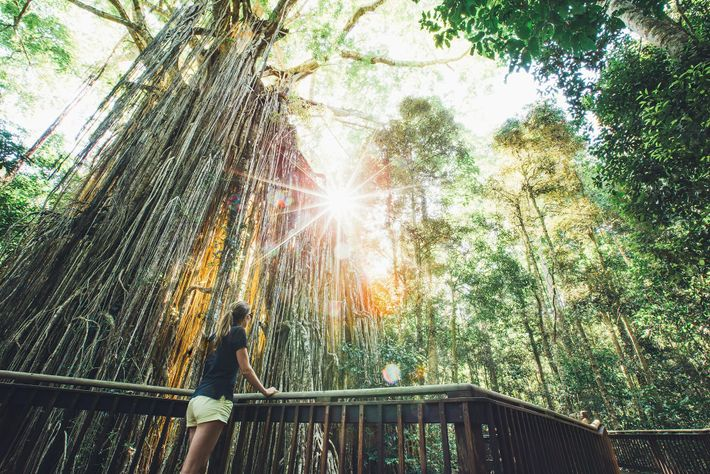 Curtain Fig Tree in Queensland.